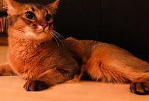 Chili The Somali Cat / Somali Cat
