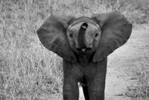 Elephants-my favorite!