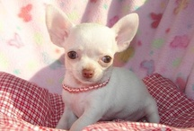 Chihuahua LOVE / by BeautyNewzFlash