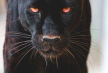 Nature Photography Black Panther