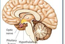 Pituitary / The pituitary gland is a small gland, located below the brain and connected to the hypothalamus. The pituitary gland regulates the secretions of hormones in the body, and hormones impact metabolism, growth and development, reproduction and urine production. It is important to note that the hypothalamus and pituitary gland are connected by blood vessels and nerves.