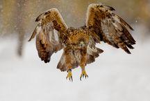 Golden Eagles Sweden