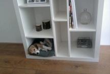 Beagle / Dog beagle