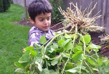 Harvesting Our Medicinal Plants / Growing and harvesting our organic medicinal plants from our on site gardens with a little help from Maxwell!  Our Organic Virgin Skin Care Line is infused with Organic Marshmallow, Chickweed, Yarrow, Calendula and All-Heal.