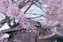 japońskie kwitnące wiśnie