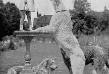 Irish wolfhounds / by Whitney Barnhart