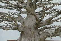 Japon ağacı
