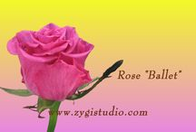 Roses Video Clips / Time-lapse video clips of growing, opening and dying roses