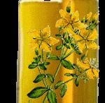 foraging βαλσαμόχορτο σπαθόχορτο Υπερικόν το διάτρητον Hypericum perforatum St John's Wort