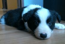 ~Lucky my Border Collie~