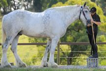 Biggest Horse in the World: Luscombe  Nordram (Nordy)