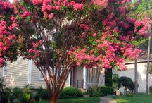 Crepe myrtles / by Stephanie Howard