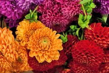 Dahlias / A selection of the stunning flower ... The Dahlia which can be found at New Covent Garden Flower Market