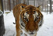 In Memory of Raja / by Crown Ridge Tiger Sanctuary