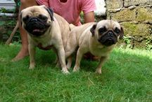 Dog / Puppies Pug