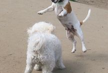 BigE and Smarty in San Francisco / two awesome jack russell terriers