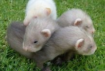National Ferret Day (April 2nd) / National Ferret Day is not about one specific club, charity or organization however it is completely about one animal - the domesticated ferret.
