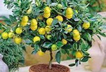 limon yetistirme