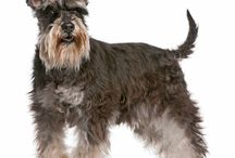 Miniature Schnauzer / Miniature Schnauzers originated in Germany during the 19th Century, and bred as barn ratters. They were derived from Standard Schnauzers crossed with Affenpinschers and possibly Poodles or Mini Pinschers. The first official Mini was recorded in 1888, and first shown in 1889. - See more at: http://www.noahsdogs.com/m/dogs/breed/Miniature-Schnauzer#sthash.v0eE7n6c.dpuf