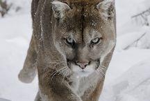 Zwierzę Mocy - Puma