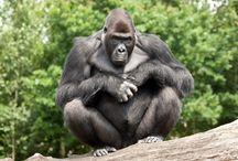 uganda wildlife,gorilla tours & safaris / pins of picutures  of the most amazing safaris,tours in uganda and East africa  showing wildlife, primates like gorillas, chimpanzees etc.     www.jewelsafaris.com