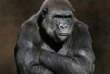 Gorilla ***LOVE***