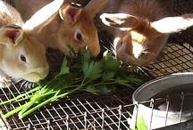 Raising Rabbits / meat rabbits, raising meat rabbits, raising rabbits, rabbits, livestock, farm life, homesteading, animals on the farm