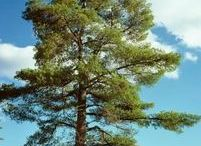 Gardening - Around pine trees