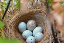 ptačí hnízda a vajíčka