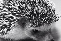 703 Hedgehog