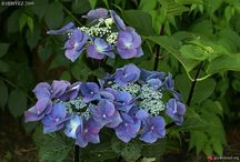 Blue hydrangeas / These have the propensity for deep blue flowers (on acid soil)