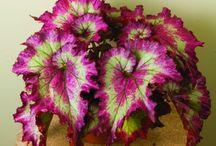 Begonia frunze