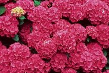 Hydrangeas in the Garden / A favorite among many gardeners. / by Fine Gardening Magazine