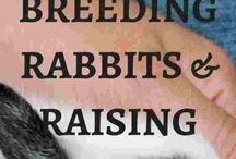 || Keeping Meat Rabbits ||