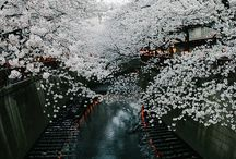 Cherry Tree Blossom... JAPAN
