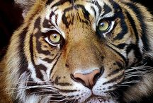 Animals : Big Cats / by Caroline Rainbird