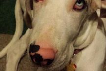 Great Danes...mine included / I have rehabed and rehomed all kinds of abandoned dogs. Along the way I got a Great Dane and he changed my world. Best damn dog ever! / by Sarina Lane