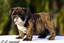 English Bulldog / #dog #bulldog #animal