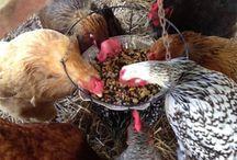 Chicken crack/feed