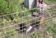 Homesteading and Pigs
