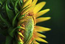 Girassóis - Sunflowers