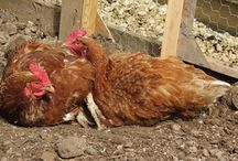 Dust bathing Chickens / Dust bathing is a chickens natural way to prevent parasites - and it is amusing to watch :-)