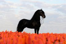 HORSES ~ FRIESIAN'S