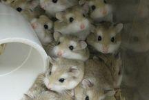 Roborovski dwarf hamster xxx