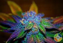 medical marijuana is the new world order!!