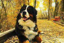 sambernardo cani caini