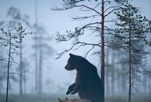 Medvědi a tučnáci
