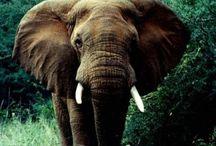 Animals > Elephant Culture xo