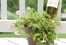 Husmoderstips / Rengöring Blomskötsel inne, tips på blomster o lökar