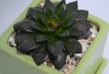 Succulent of the Month / showcasing different succulents because there are just so many to love!